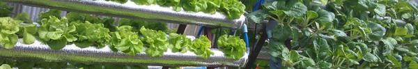 Tất tần tật về cách trồng rau thủy canh tại nhà giúp bạn có vườn rau xanh mơn mởn