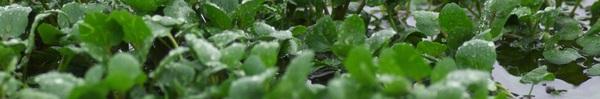 Hai cách trồng rau cải xoong tại nhà vừa đơn giản vừa hiệu quả