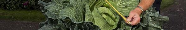 Kinh ngạc cây bắp cải to gấp 50 lần so với bình thường, 2 người mới khiêng được