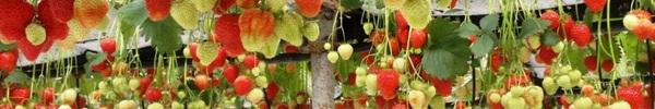 Mãn nhãn với những vườn cây cho ra trái trĩu trịt tưởng chỉ có trong mơ