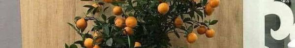 Nỗi lòng người bố mua cây quất đẹp chơi Tết, vừa kịp đăng Facebook khoe thì con gái vặt sạch quả