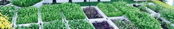 Khu vườn trên sân thượng xanh mướt mát, ăn mãi chẳng hết rau sạch của gia đình Lý Hải - Minh Hà