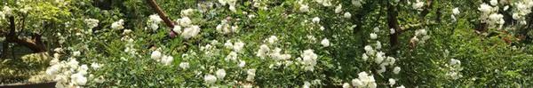 Khu vườn rộng 2000m² với hàng trăm gốc hồng bonsai quý hiếm của người đàn ông yêu hoa ở Đà Lạt