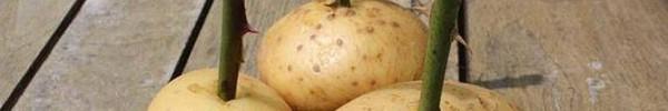 Cách trồng hoa hồng nhàn tênh bằng... khoai tây
