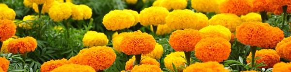"""6 loại cây trồng trong nhà có tác dụng như """"thuốc xịt muỗi"""" tự nhiên"""