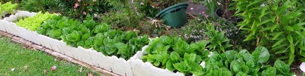 Tất tần tật các mẹo trồng rau trong thùng xốp để có vườn rau xanh mơn mởn