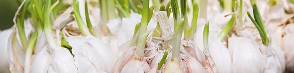 Cách trồng 5 loại cây gia vị hay dùng mà chẳng cần đến hạt giống