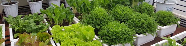 Khu vườn 40m² ngập tràn rau quả của bà mẹ phố núi khiến các bà nội trợ ao ước