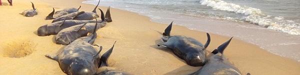 Bí ẩn về vụ tự sát hàng loạt của cá voi trên bờ biển Ấn Độ