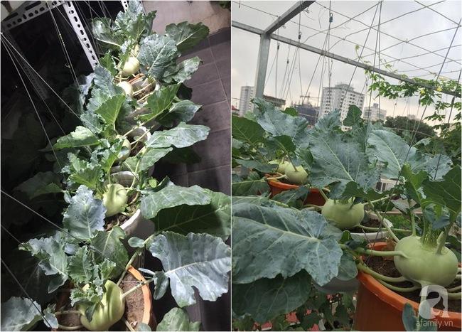 Nữ giảng viên đảm đang trồng gần trăm cây su hào củ siêu to trên sân thượng 40m² ở Hà Nội - Ảnh 8.