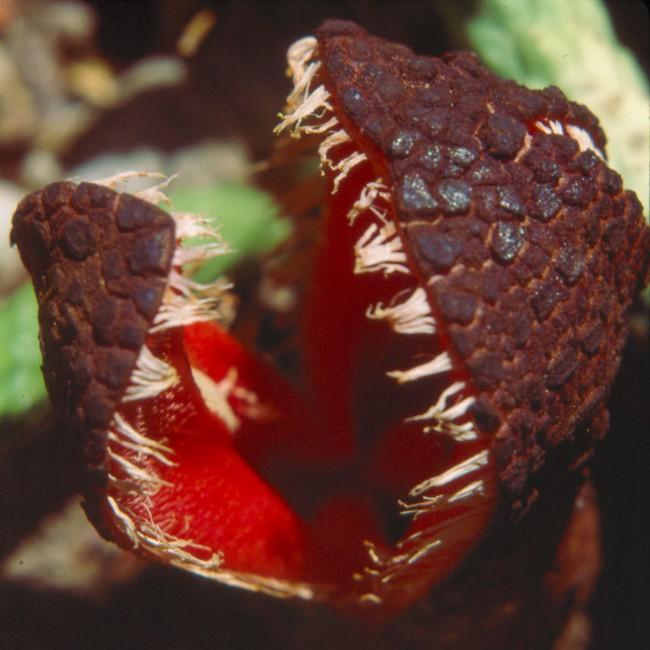 Những loài thực vật kỳ lạ và đáng sợ nhất thế giới - Ảnh 1.