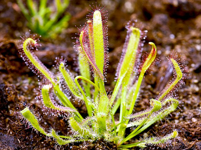 Những loài thực vật kỳ lạ và đáng sợ nhất thế giới - Ảnh 10.