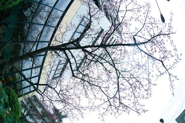 Ngay ở Hà Nội, có một nơi anh đào bung nở đẹp đẽ mà chẳng cần đợi lễ hội hoa - Ảnh 14.