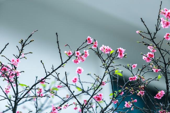 Ngay ở Hà Nội, có một nơi anh đào bung nở đẹp đẽ mà chẳng cần đợi lễ hội hoa - Ảnh 16.