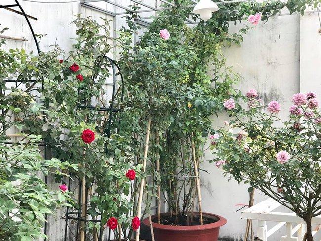 Vẻ quyến rũ của hàng trăm loài hoa hồng quý trên sân thượng 50m² của chàng trai độc thân 8x ở Vũng Tàu - Ảnh 2.