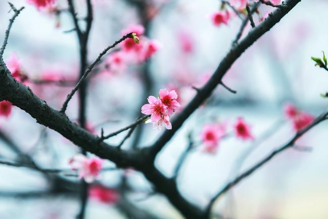 Ngay ở Hà Nội, có một nơi anh đào bung nở đẹp đẽ mà chẳng cần đợi lễ hội hoa - Ảnh 18.