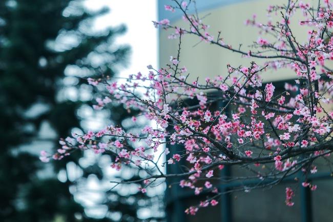 Ngay ở Hà Nội, có một nơi anh đào bung nở đẹp đẽ mà chẳng cần đợi lễ hội hoa - Ảnh 2.