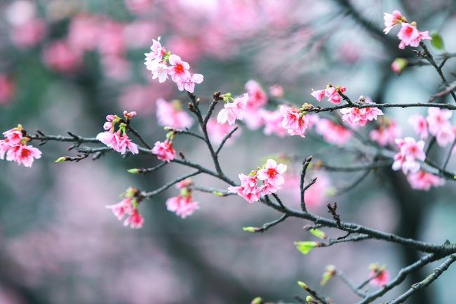 Ngay ở Hà Nội, có một nơi anh đào bung nở đẹp đẽ mà chẳng cần đợi lễ hội hoa - Ảnh 3.
