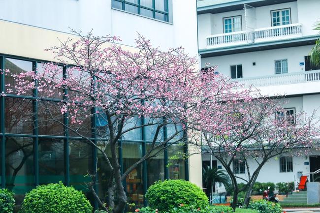 Ngay ở Hà Nội, có một nơi anh đào bung nở đẹp đẽ mà chẳng cần đợi lễ hội hoa - Ảnh 4.