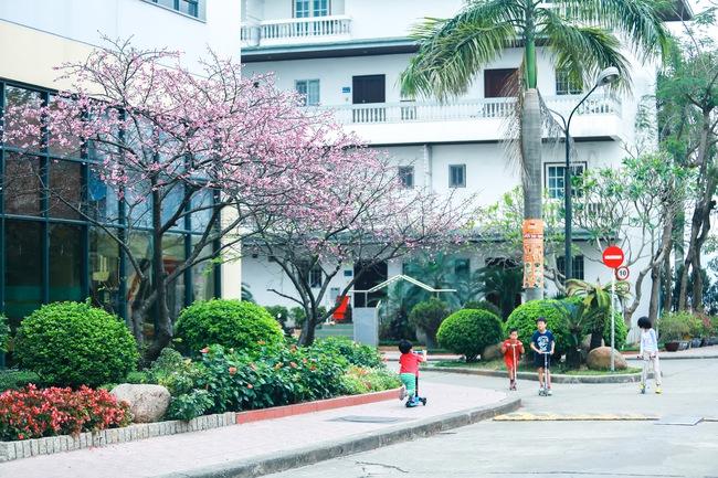 Ngay ở Hà Nội, có một nơi anh đào bung nở đẹp đẽ mà chẳng cần đợi lễ hội hoa - Ảnh 7.