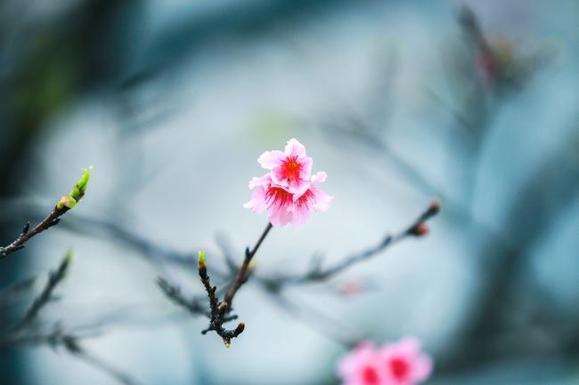 Ngay ở Hà Nội, có một nơi anh đào bung nở đẹp đẽ mà chẳng cần đợi lễ hội hoa - Ảnh 9.