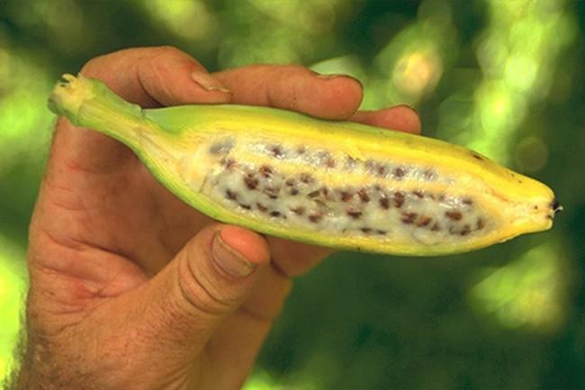 Những giống chuối kỳ lạ nhất thế giới có thể bạn chưa được nhìn thấy - Ảnh 2.