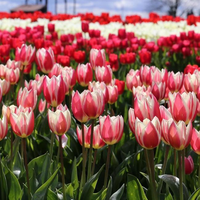 6 khu vườn hoa tulip chỉ nhìn thôi cũng khiến người ta ngất ngây bởi quá đẹp, quá rực rỡ - Ảnh 11.