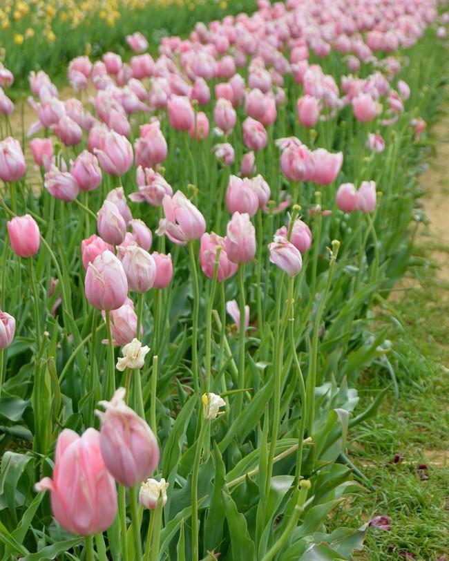 6 khu vườn hoa tulip chỉ nhìn thôi cũng khiến người ta ngất ngây bởi quá đẹp, quá rực rỡ - Ảnh 15.