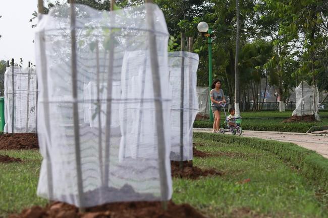 Cận cảnh 130 cây anh đào Nhật Bản vừa được trồng tại Công viên Hòa Bình - Ảnh 1.