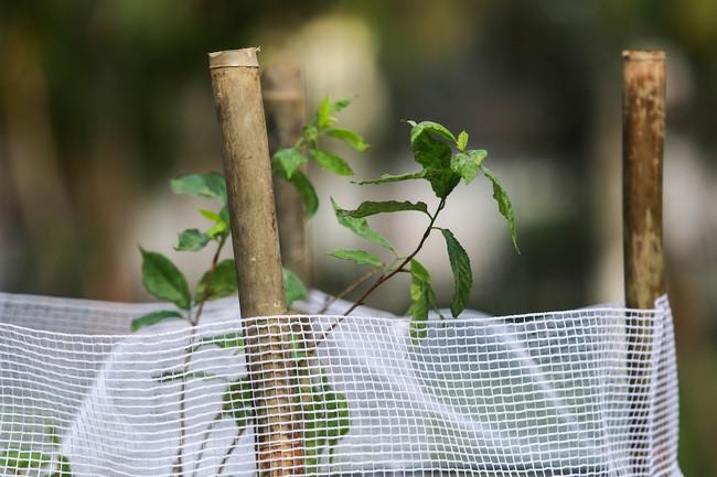 Cận cảnh 130 cây anh đào Nhật Bản vừa được trồng tại Công viên Hòa Bình - Ảnh 2.