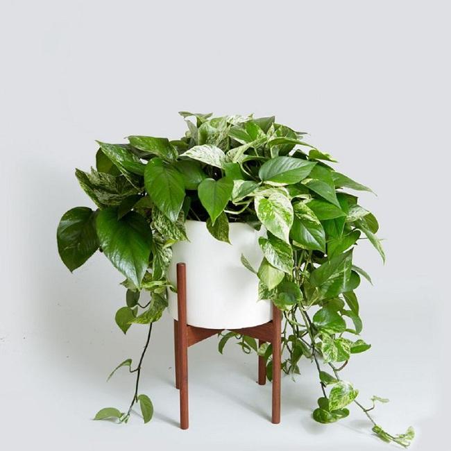 10 loài cây cảnh vô cùng phù hợp để trồng trong ngôi nhà của mình - Ảnh 10.