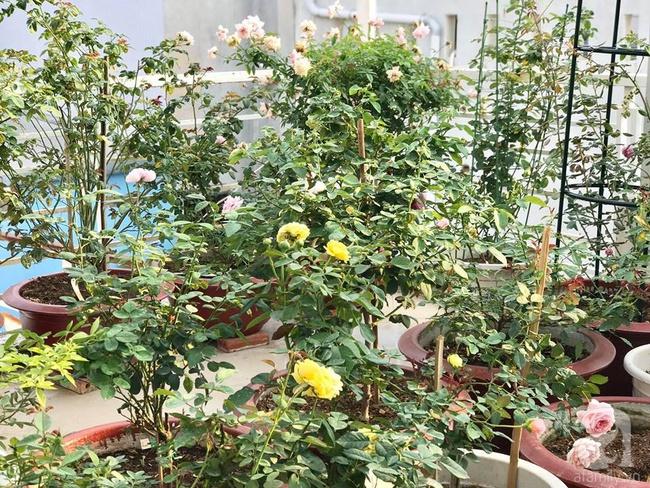 Vẻ quyến rũ của hàng trăm loài hoa hồng quý trên sân thượng 50m² của chàng trai độc thân 8x ở Vũng Tàu - Ảnh 6.