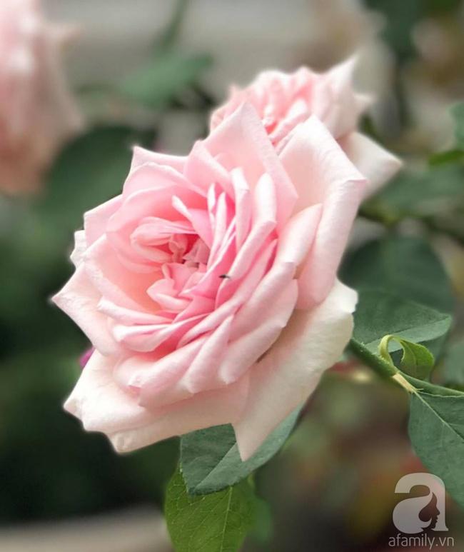 Vẻ quyến rũ của hàng trăm loài hoa hồng quý trên sân thượng 50m² của chàng trai độc thân 8x ở Vũng Tàu - Ảnh 7.