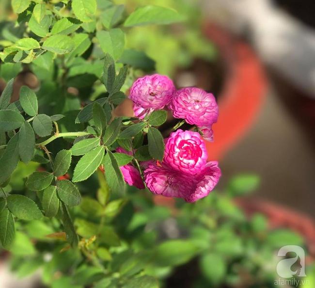 Vẻ quyến rũ của hàng trăm loài hoa hồng quý trên sân thượng 50m² của chàng trai độc thân 8x ở Vũng Tàu - Ảnh 8.