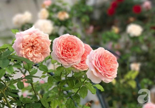Vẻ quyến rũ của hàng trăm loài hoa hồng quý trên sân thượng 50m² của chàng trai độc thân 8x ở Vũng Tàu - Ảnh 15.
