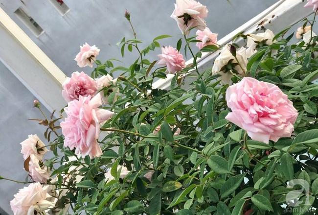 Vẻ quyến rũ của hàng trăm loài hoa hồng quý trên sân thượng 50m² của chàng trai độc thân 8x ở Vũng Tàu - Ảnh 17.