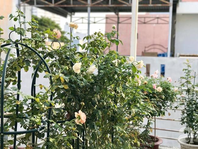 Vẻ quyến rũ của hàng trăm loài hoa hồng quý trên sân thượng 50m² của chàng trai độc thân 8x ở Vũng Tàu - Ảnh 22.