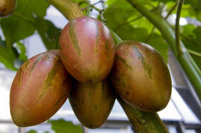 Hướng dẫn cách trồng cà chua thân gỗ Tamarillo đang vô cùng hot hiện nay - Ảnh 1.