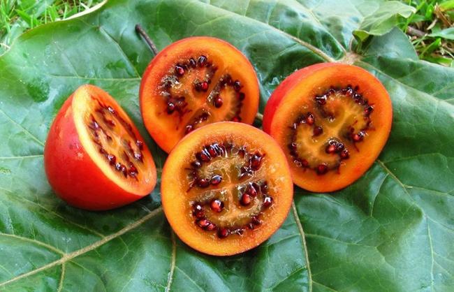 Hướng dẫn cách trồng giống cà chua thân gỗ Tamarillo đang vô cùng hot hiện nay - Ảnh 3.