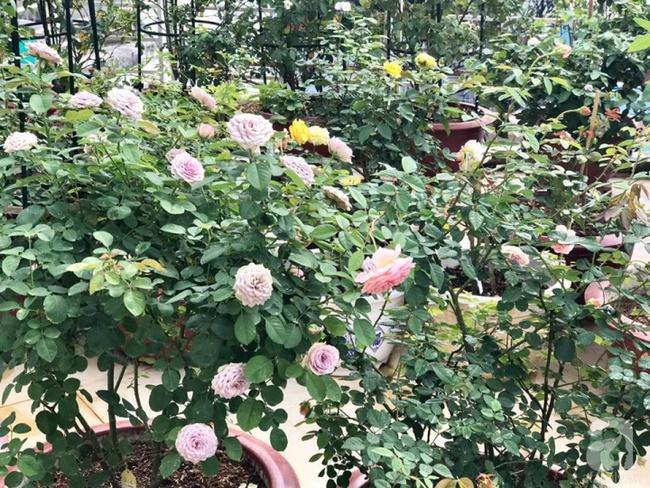 Bí quyết trồng cả sân thượng hoa hồng ngoại rực rỡ của chàng trai độc thân ở Vũng Tàu - Ảnh 12.