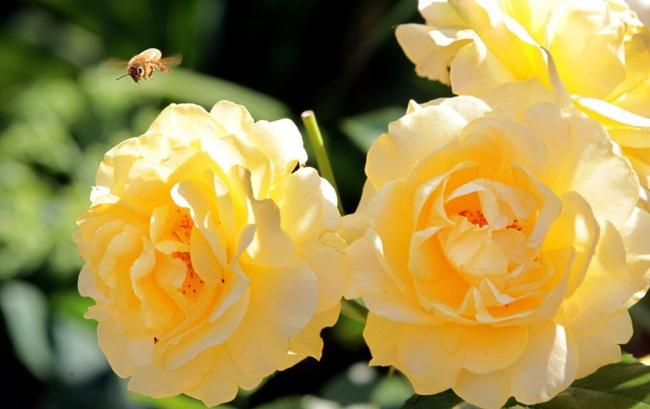 4 mẹo nhỏ đơn giản giúp hoa hồng nở rực rỡ trong vườn dành cho người mới trồng - ảnh 1
