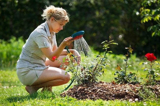 4 mẹo nhỏ đơn giản giúp hoa hồng nở rực rỡ trong vườn dành cho người mới trồng - ảnh 2