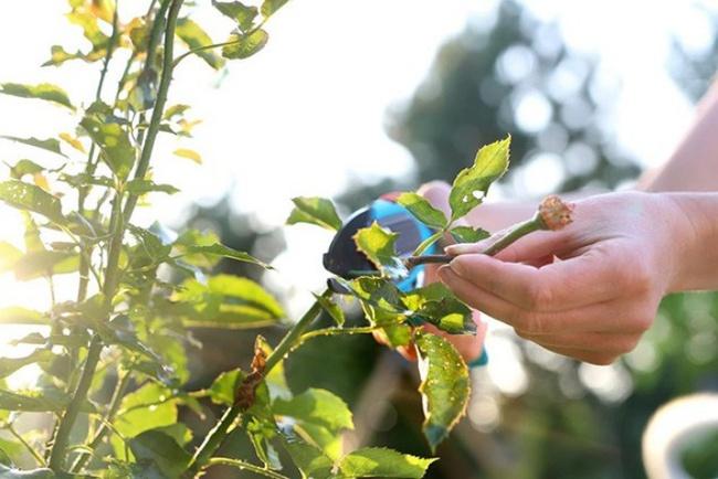 4 mẹo nhỏ đơn giản giúp hoa hồng nở rực rỡ trong vườn dành cho người mới trồng - ảnh 3