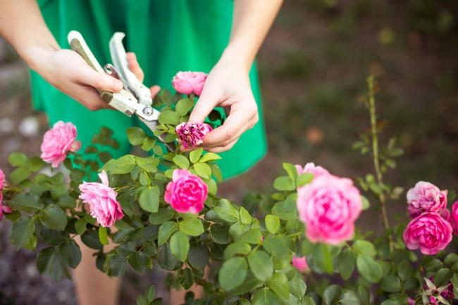 4 mẹo nhỏ đơn giản giúp hoa hồng nở rực rỡ trong vườn dành cho người mới trồng - ảnh 4
