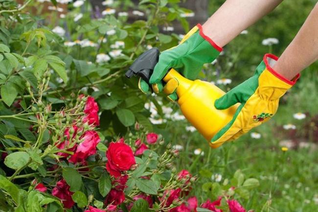 4 mẹo nhỏ đơn giản giúp hoa hồng nở rực rỡ trong vườn dành cho người mới trồng - ảnh 5