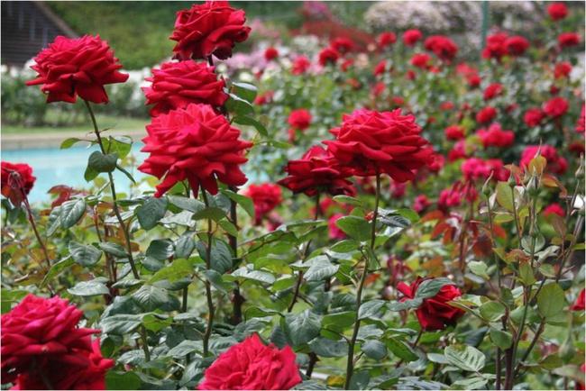 Nếu muốn trồng hoa hồng thì đây là thời điểm tốt nhất bạn không thể bỏ lỡ - Ảnh 1.