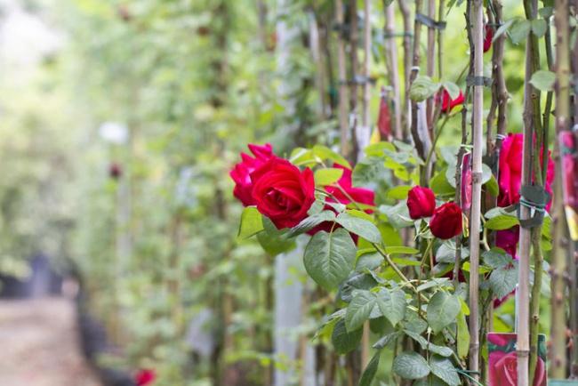 Nếu muốn trồng hoa hồng thì đây là thời điểm tốt nhất bạn không thể bỏ lỡ - Ảnh 2.