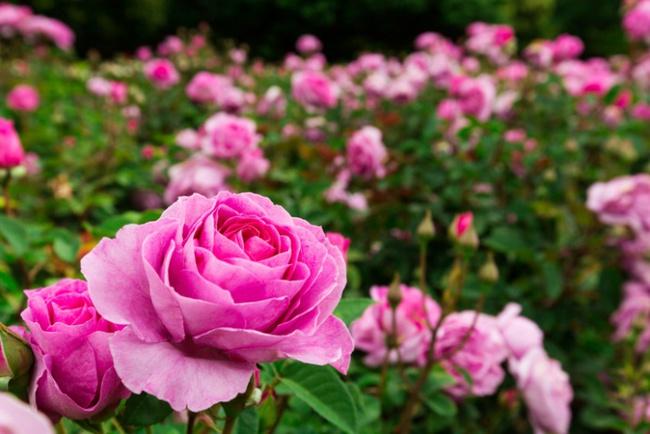 Nếu muốn trồng hoa hồng thì đây là thời điểm tốt nhất bạn không thể bỏ lỡ - Ảnh 4.