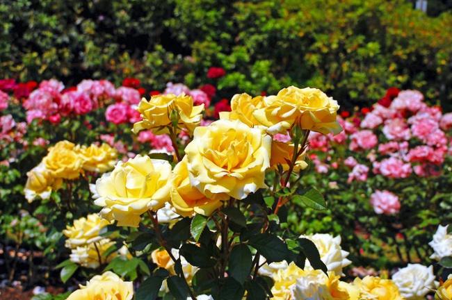 Nếu muốn trồng hoa hồng thì đây là thời điểm tốt nhất bạn không thể bỏ lỡ - Ảnh 5.