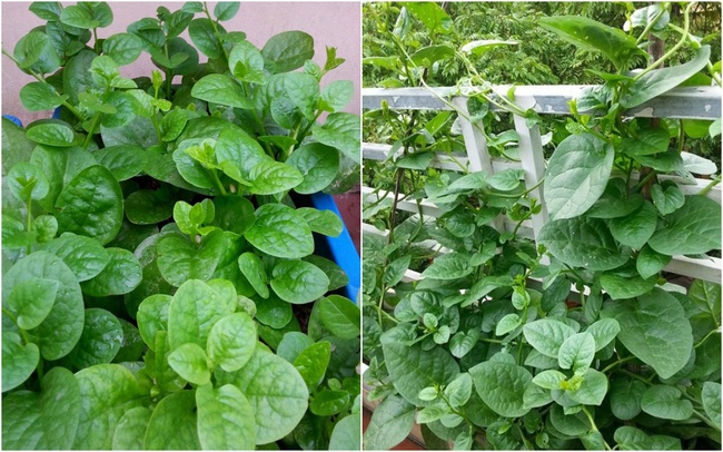 Mách các mẹ hai cách trồng mùng tơi bội thu trên sân thượng mùa hè - Ảnh 3.